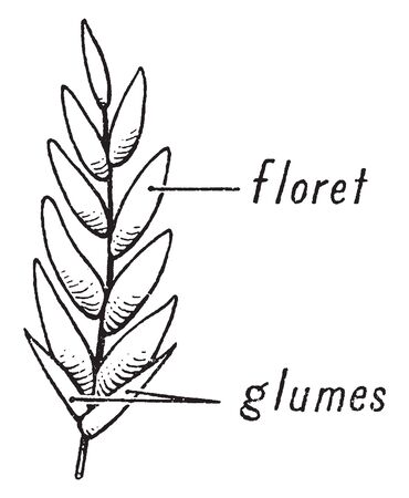 The spikelet is the basic unit of the grass inflorescence, vintage line drawing or engraving illustration. 向量圖像