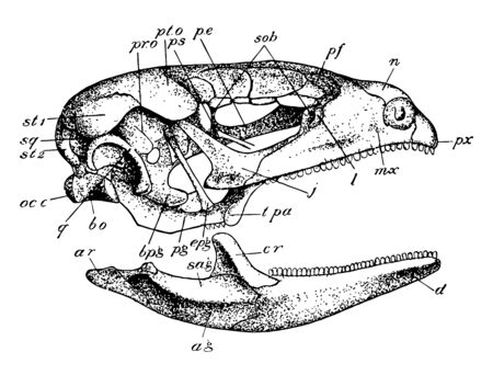 Side view of skull of Lacerta, vintage line drawing or engraving illustration.