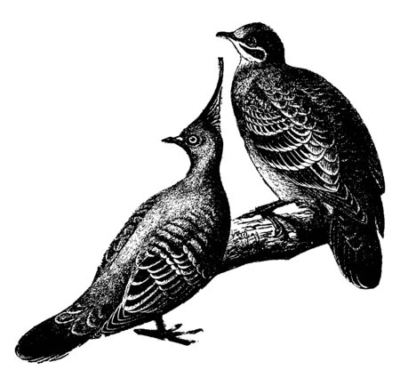 Doves which is on the right hand side is a common Australian bronze winged dove, vintage line drawing or engraving illustration.