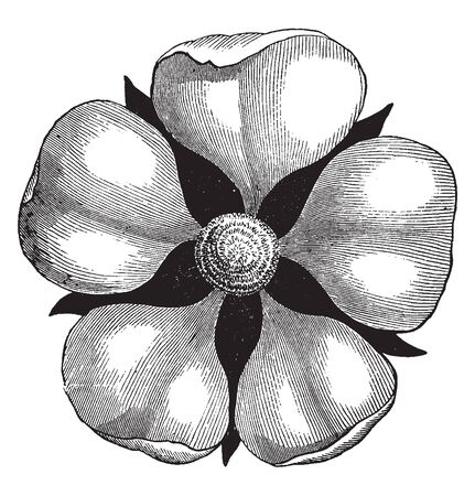 A picture is showing Pistillate flower. A pistillate flower is female, bearing only pistils, vintage line drawing or engraving illustration. Ilustrace
