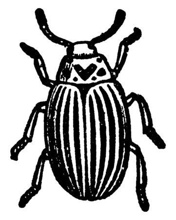 Colorado Beetle is a beetle first described by Thomas Say, vintage line drawing or engraving illustration. Foto de archivo - 132977258