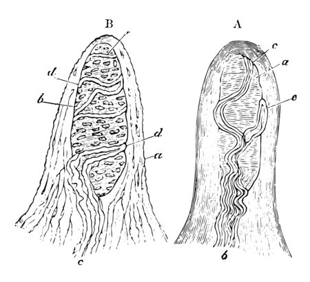 Touch corpuscles are found in the papillae of the skin of the fingers and toes, vintage line drawing or engraving illustration.