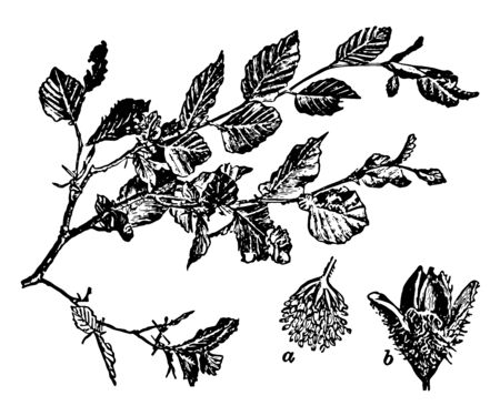 Branch of Common Beech. a-flower b-fruit. Beech, the common name of trees well known in various parts of the world, including America, New Zealand & Terra del Fuego, vintage line drawing or engraving illustration.