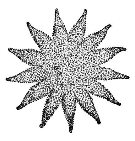 Illustration shows Cryptozonate Asterid. Arms are spread such that it looks like a star, vintage line drawing or engraving illustration.
