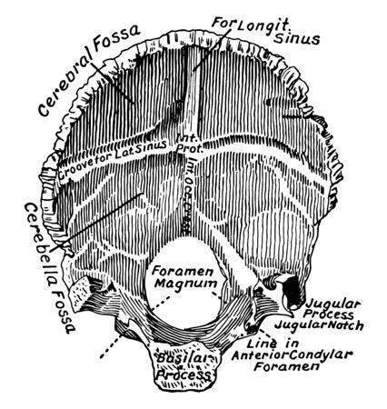 This illustration represents Occipital Bone, vintage line drawing or engraving illustration.