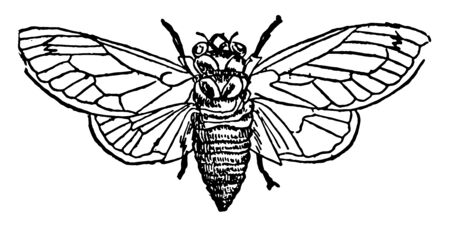 Seventeen Year Locust spends seventeen years underground feeding on the roots of trees, vintage line drawing or engraving illustration.