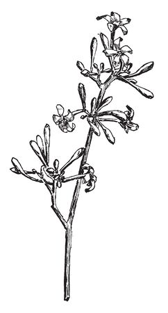 This is a image of flowers of Payapa. Matured flowers turns into papaya, vintage line drawing or engraving illustration. Banco de Imagens - 132976313