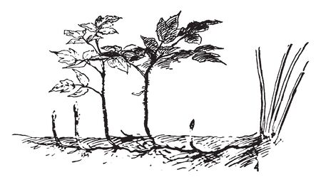 This picture is showing a raspberries plant. It is a small plant, The roots are connected to each other. The stem is very thin, vintage line drawing or engraving illustration.
