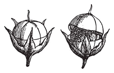Discharge of contents by a narrow opening or crack around the capsule of the fruit, vintage line drawing or engraving illustration.