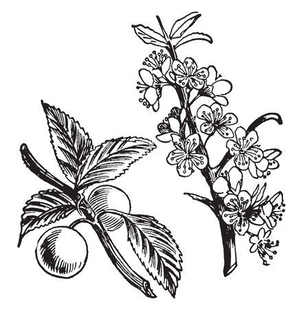 A picture shows the branch of Sloe Plant and its fruits. It produces small plum-like fruits known as 'drupes' in autumn which are often mis-described as berries, vintage line drawing or engraving illustration.