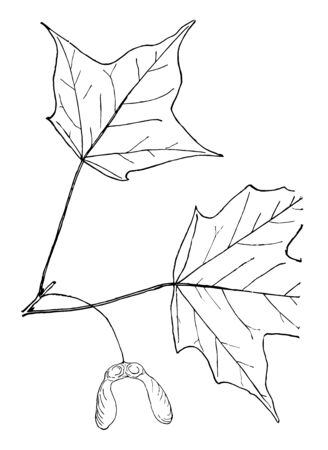 A picture of maple tree leaves, vintage line drawing or engraving illustration.