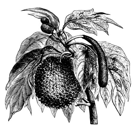 This is a tree in the frame called Bread Fruit. That tree has large leaves and it has fruit. It is hard to cover the fruit, vintage line drawing or engraving illustration. Illusztráció
