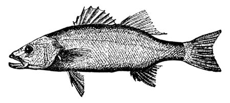 Bass is an Acanthopteryglan with anterior spinous and posterior soft dorsal fins, vintage line drawing or engraving illustration. Illustration