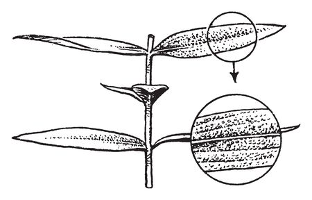 A picture shows Shrub Plant. A shrub or bush is a small to medium-sized woody plant. A shrub with leaves with expanded blades, vintage line drawing or engraving illustration.