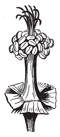 A picture shows the Stamens. It is comprised of the filament, which is the long, slender stalk, and the Anther, which is at the top of the filament and is where pollen grains are produced, vintage line drawing or engraving illustration.
