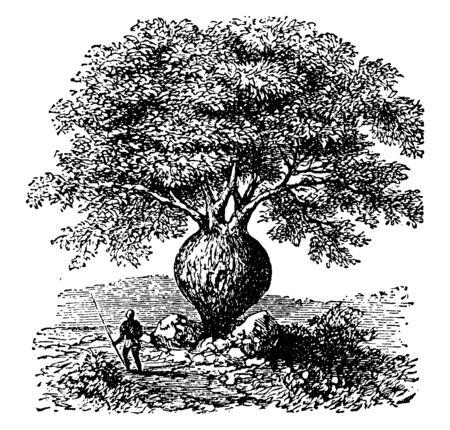 Drzewo o spuchniętym pniu w kształcie butelki zawierającej wodę, vintage rysowanie linii lub ilustracja grawerowania.