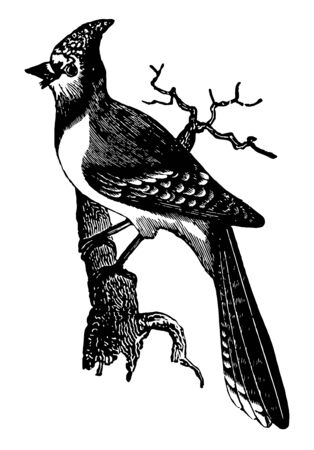 American Blue Jay is a beautiful bird that is common near all sections of the United States, vintage line drawing or engraving illustration. Illustration