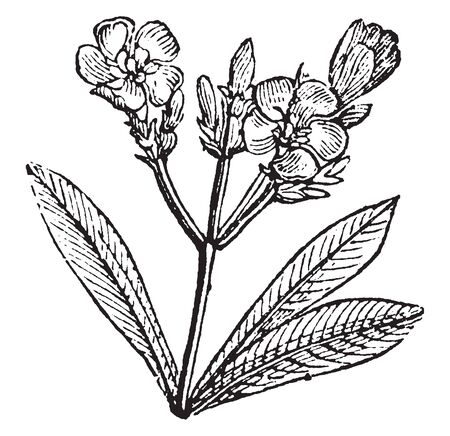 Oleander, Nerium oleander, is a poisonous shrub. It is commonly used in gardens because of its pink colored flowers. Nerium oleander is native to northern Africa, vintage line drawing or engraving illustration.