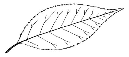 Shrubs of the genus Ilex, vintage line drawing or engraving illustration.
