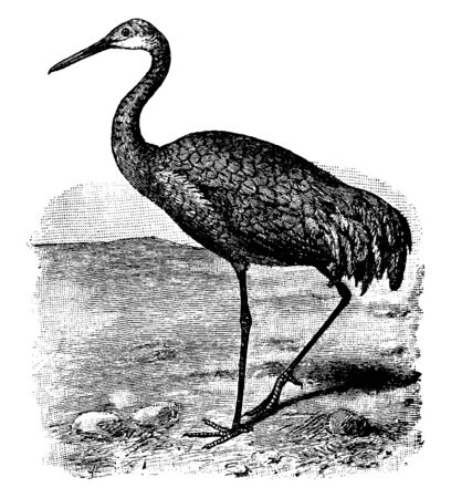 Sandhill Crane is a large bird with a wingspan of up to seven feet, vintage line drawing or engraving illustration.