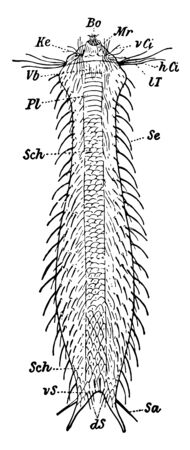 Gastrotricha is a small group of fairly uniform animals, vintage line drawing or engraving illustration. Ilustracja