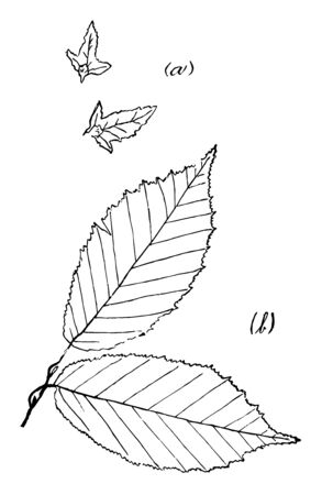 Picture showing irregular and uneven sharp leaves, vintage line drawing or engraving illustration. Ilustração