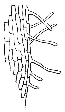 A picture showing the much magnified small portion of young root of a seedling Maple, vintage line drawing or engraving illustration.