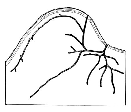 Gallery of Xyleborus Pubescens which consist either of branching galleries, vintage line drawing or engraving illustration.