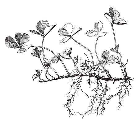 Root system of white clover to help for forming new plants, vintage line drawing or engraving illustration.