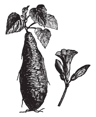 This is Potato plant along with potato. These potatoes are growing in rows. Above ground, the plants reach about 2 feet tall. Potato plants grown from small tubers usually emerge within few days, vintage line drawing or engraving illustration.