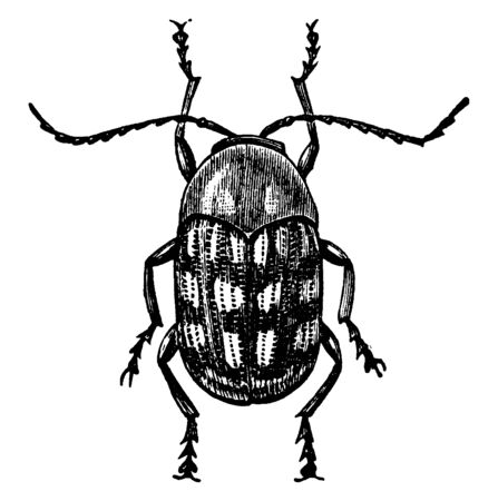 Cryptocephalus about a quarter of an inch long, vintage line drawing or engraving illustration.