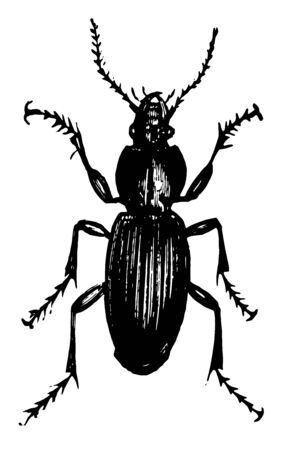 Dorsal View of Ground Beetle which an insect in the Carabidae family of carabid beetles, vintage line drawing or engraving illustration. 向量圖像