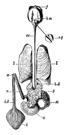 one of the bile ducts, vintage line drawing or engraving illustration.