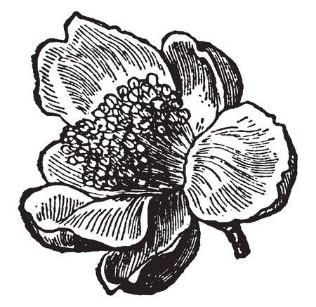 The oval shaped petals are there. Four to five petals wrapped to flower, vintage line drawing or engraving illustration.