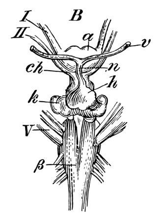 Skate Brain where pyrimids of medulla oblongata is present, vintage line drawing or engraving illustration.