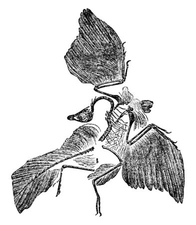 Archaeopteryx Fossil which is the earliest and most primitive bird, vintage line drawing or engraving illustration.