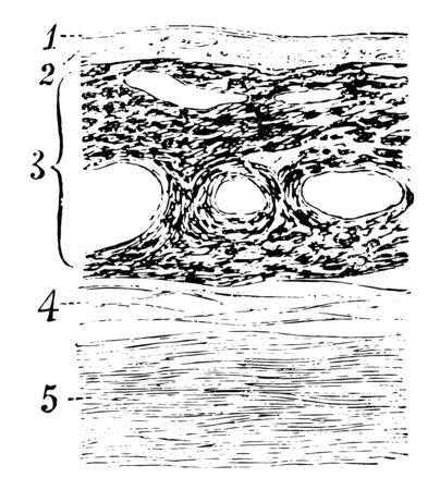 This illustration represents Section Through the Choroid Coat, vintage line drawing or engraving illustration.