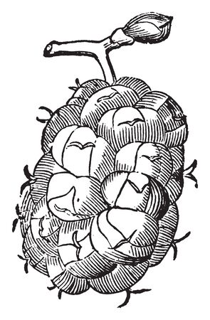 Picture of Mulberry fruit that can exhibit different coloured on the same plant. They are large, deciduous trees native to warm, temperate, and subtropical regions of Asia, Africa, and the Americas, vintage line drawing or engraving illustration. Illusztráció