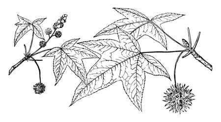 These are the leaves in the frame that they look like a star. He is thorny flowers, vintage line drawing or engraving illustration. Illustration