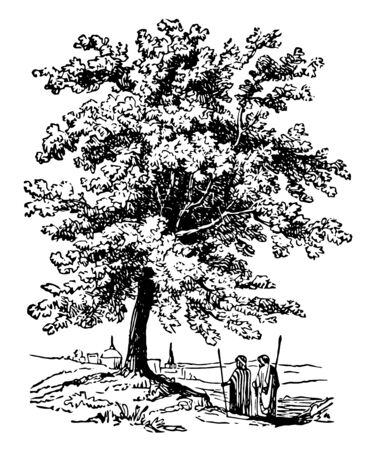 A tree native to the Mediterranean region. It produced the earliest-known form of turpentine, and was used in medicine by the ancient Greeks, vintage line drawing or engraving illustration.