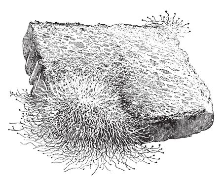 A picture showing a Mucor, a common Mold growing on a piece of Bread, vintage line drawing or engraving illustration.