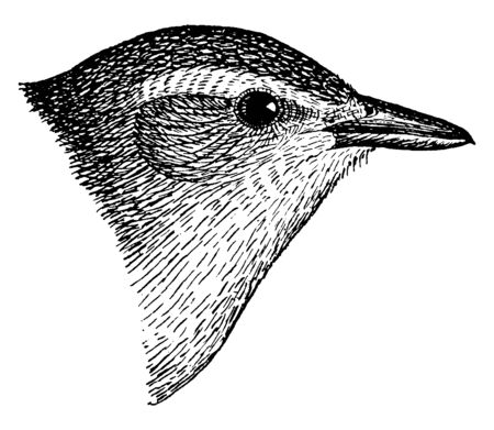 Warbling Vireo is a small songbird, vintage line drawing or engraving illustration. Иллюстрация