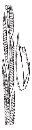 A picture shows the Spartina Plant. It is also called as cordgrass or cord-grass and It grow large, quickly. It belongs to grass family, vintage line drawing or engraving illustration. Illustration