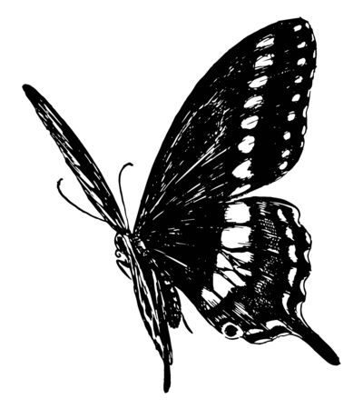 P Asterias Butterfly which is called Papilio asterias, vintage line drawing or engraving illustration.