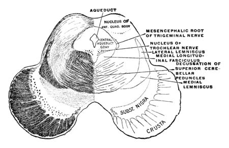 Section of the midbrain through the level of the inferior quadrigeminal body, vintage line drawing or engraving illustration.