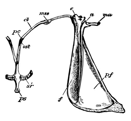 Shoulder girdle with anterior end of sternum of young specimen, vintage line drawing or engraving illustration.