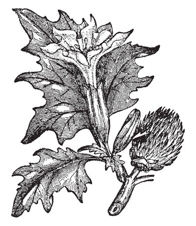 The Thorn Apple leaves are long, toothed. The flowers are trumpet-shaped, and oval shaped bud capsule, vintage line drawing or engraving illustration. Ilustração