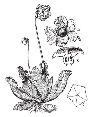 The picture is showing a section of pitcher plant traps and digests insects in cavities known as a pitfall trap, vintage line drawing or engraving illustration.