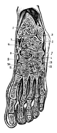 Oblique anteroposterior section of foot to show the synovial cavities of the tarsus, vintage line drawing or engraving illustration.