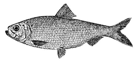 Alewife is an anadromous species of herring found in North America, vintage line drawing or engraving illustration.